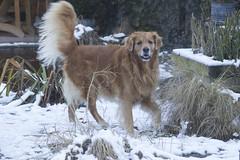 Spike-6474 (paul.roumen) Tags: winter sneeuw spike thuis