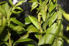 IMG_0106 (J_turner6) Tags: hawk moth sphingidae oleander daphnis nerii