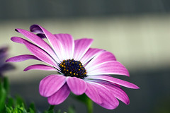 Margerite - Leucanthemum (Danyel B. Photography) Tags: flower color macro nature garden close blossom bokeh sony details natur sigma sharp nah marguerite pollen blume makro blte garten a7 stempel 105mm margerite scharf