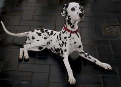 1-Dalmata (jubany m) Tags: perro gos dalmata 2016 jubany