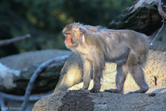 234A1476-2.jpg (Mark Dumont) Tags: snow animals mammal japanese zoo monkey mark cincinnati dumont macaque