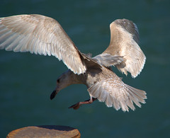 Landing (swong95765) Tags: water spread wings seagull gull tail feathers landing splay