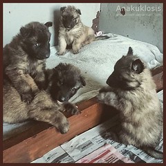 Puppies (Anakuklosis) Tags: dogs animals puppy puppies sony belgian sheperd puppylove lovepuppies lovedogs sonyxperia sonyxperiaz sonyxperiaz1