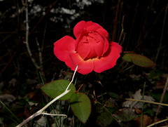 Our Last 2015 Fall Rose Flower. Macro taken on November 29, 2015 Sh65 IMG_3987 (Ted_Roger_Karson) Tags: macro rose backyard handheld 2015 handheldcamera macrolife miniaturecompactpocketcamera canonpowershotsx280hs