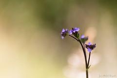 Fleurs lavande en fort tropicale (zambaville) Tags: macro fleur canon eos is usm lavande proxy flore f28l ef100mm lesquelin 5dsr
