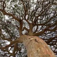 'Summer In Australia' - January, 2016 (aus.photo) Tags: summer sky tree nature branches australia lookingup eucalypt trunk canberra eucalyptus majestic act naturelovers canberranaturepark ausphoto