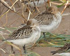 Dunlin (Peanut1371) Tags: brown white bird birds waders dunlin wader nationalgeographicwildlife
