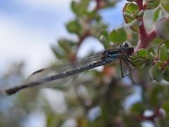 Damselfly with its mouth full (dracophylla) Tags: tasmania damselfly zygoptera centralplateau