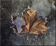 ...collezione inverno (l' Eu_genio) Tags: brina foglia ghiaccio cristalli