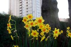 Daffodils bring colour to a London Square (IanAWood) Tags: urban stpancras walkingwithmynikon lbofcamden nikkorafs28mmf18g nikondf