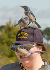 IMG_4049 (Bill Jelen) Tags: hat birding scrubjay rockledge birdonhat