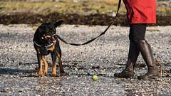 fancy a game Ma? (RCB4J) Tags: winter dog art beach ball photography scotland sand play shingle rottweiler rottie ayrshire barassiebeach sigma150500mmf563dgoshsm ronniebarron rcb4j sonyilca77m2