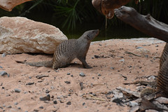 UAE - 2015-0673 (MacClure) Tags: zoo uae alain unitedarabemirates mongoose bandedmongoose