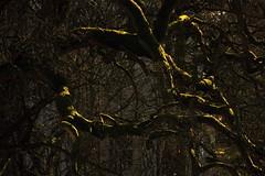 Knorrig und bemoost (02) (Rdiger Stehn) Tags: deutschland europa ast pflanzen ste schatten baum moos schleswigholstein 2000s norddeutschland 2016 mitteleuropa sonnenlicht gehlz altenholzstift altenholz 2000er canoneos550d