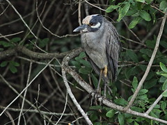 Yellow-crowned Night-Heron 2-20160210 (Kenneth Cole Schneider) Tags: florida miramar westbrowardwca