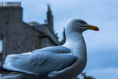 beady eye (pamelaadam) Tags: summer bird digital visions scotland meetup seagull july fotolog aberdeen 2012 thebiggestgroup