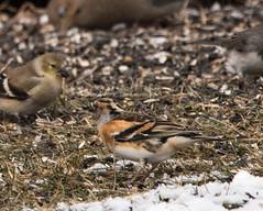 Brambling (Fringilla montifringilla) (mesquakie8) Tags: ohio male bird bram finch medina medinacounty brambling fringillamontifringilla 5811 feedingontheground