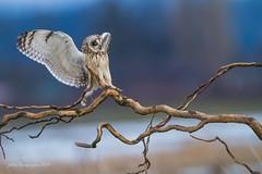 Touchdown (Peter Bangayan) Tags: wild nature canon washington wildlife owl raptors owls shortearedowl wilidlife stanwoodwa canon7d ef500mmf4lisusm eos7dmarkii