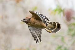 The Navigator (PeterBrannon) Tags: bird nature inflight florida hawk wildlife raptor canopy birdofprey redshoulderedhawk birdinflight lettucelake buteolineatus hillsboroughcounty rsha