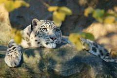 Schneeleopardin Siri (most.4711) Tags: 1025fav zoo topv333 snowleopard klnerzoo 444v4f 250v10f wildfelinephotography sonya99 tamron150600mmf5063usd