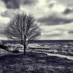That tree, again (imagesafari) Tags: park bw tree lakeerie rockyriver thattree rrpark instagram igersohio ripgotham clevelandgram igerscleveland