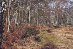 The Path (Ali Ly) Tags: trees winter fern grass day outdoor path heather branches bark trunk birch cambridgeshire holmefen