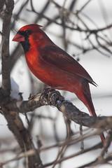 Male cardinal (Translatomatic) Tags: cardinal