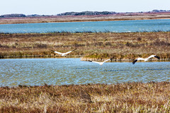 _40A2739 (ChefeGrande) Tags: bird texas feeding marsh seashore texasstatepark whoopingcrane wintermigration protectedspecie