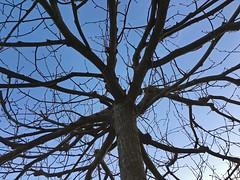 Baum mit Verzweigten Asten vor Sonnenuntergang (Ergn Karahan) Tags: baum asten verzweigten sonnenuntergangastnaturbaumberhrenineinanderverschlungenineinandergreifenddunkelhintergrundverziertwachstumholzzweigbiegungjahreszeithimmelblausonnenlichtabenddmmerungch