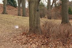 Red oak 11253*A (smrozak) Tags: redoak quercusrubra oakroute suzannemrozak 11253a 23feb2016