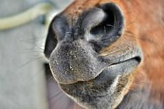 ~~Et moi ? Qui veut m'embrasser sur le nez ?~~ (Jolisa) Tags: horse macro cheval nez elisa grosplan poils museau fvrier2016
