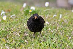 Merlo _008 (Rolando CRINITI) Tags: bird natura uccelli merlo uccello arenzano ornitologia