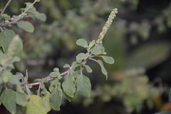 Ocimum sanctum (4) (vijayasankar) Tags: flower worship shrub aromatic herb tulsi lamiaceae thulasi holybasil hindus ocimumsanctum sacredbasil ocimumtenuiflorum verticillaster krishnathulasi srithulasi lakshmithulasi ramthulasi