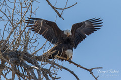Bald Eagles copulating sequence - 12 of 28