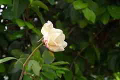 65/366 Rosebud (JessicaBelotto) Tags: pink white flower nature rose foto ar natureza flor rosa days honey bloom ao projeto livre branca fotogrfico fotografando gardem 366 jadim desabrochar plamta 366daysofhoney 366diasnoano