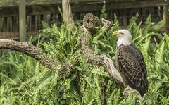 Eagle1 (pawel63) Tags: park wild bird nature zoo eagle lowry