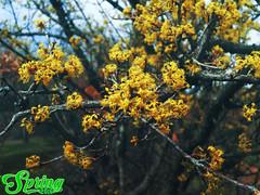 Cornus officinalis 2 @Spring2016 (Robert Krstevski) Tags: new tree nature yellow photography march spring blossom branches 21st may macedonia april popular cornus 2016 officinalis robertkrstevski robertkrstevskiblogspotcom