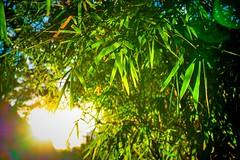 -Bamboo leaf (AllenPan02) Tags: light sun green nature leaf bamboo positive
