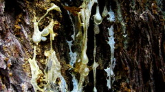 Dripping Pitch (Dru!) Tags: canada tree forest bc britishcolumbia sticky bark pitch stein dripping sap viscous globs viscid