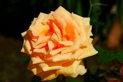 Study of Rose (petrk747) Tags: park flower travelling nature rose turkey garden coast flora antalya mediterraneansea excellentsflowers saariysqualitypictures naturebynikon
