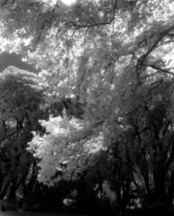 Botanic Gardens (polyglot) Tags: 120 adelaide backlit botanicgardens filmscan rz67 xtol r72 jobo plaintree ir820 12073208jpg