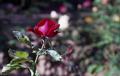 A Red Rose (Michael VH) Tags: red rose self garden tou star fuji minolta superia five taken iso 400 epson developed srt101 320 80200mm c41 v500 unicolor