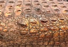 scales (omnia_mutantur) Tags: italy milan italia skin milano cocodrilo scales crocodile italie pelle cailles pele peau coccodrillo mudec piel crocodilo escamas squame