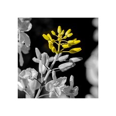 Yellow Remains (brev99) Tags: flowers blackandwhite yellow brusselsprouts selectivecolor d7100 ononesoftware tamron180f35 photoshopelements12 perfecteffects9