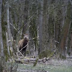 Cervus Elaphus (Ouwesok) Tags: manualfocus reddeer oostvaardersplassen cervuselaphus edelhert sonya6000 novoflex8600mm