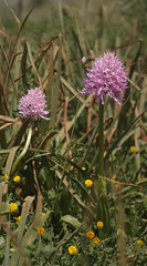 SDIM9331-sd1- planar 120mm f5.6 (ciro.pane) Tags: italien italy italia tramonto sigma punta orchidee luce merrill foveon orchis italica sd1 campanella selvatiche
