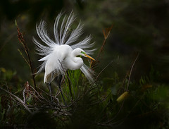 Great Egret Display (ruthpphoto) Tags: bird display egret greategret