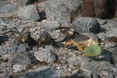 IMG_7625 (chupalo) Tags: cacti landiguana lavarocks islasplaza