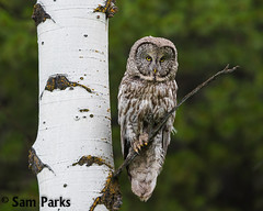 GG62 (Sam Parks Photography) Tags: trees wild usa bird nature animal forest rockies wings woods nps wildlife unitedstatesofamerica ghost feathers meadow aves raptor northamerica rockymountains wyoming greatgrayowl phantom predator carnivorous naturalworld jacksonhole avian tetonrange parkservice strigiformes grandtetonnationalpark predatory aspentree strixnebulosa gye mountainous carnivora strigidae gtnp greateryellowstoneecosystem aspenstand horizontalorientation carniore