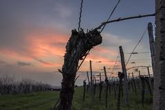 Vineyards Sunset (Lakuba) Tags: weinberge